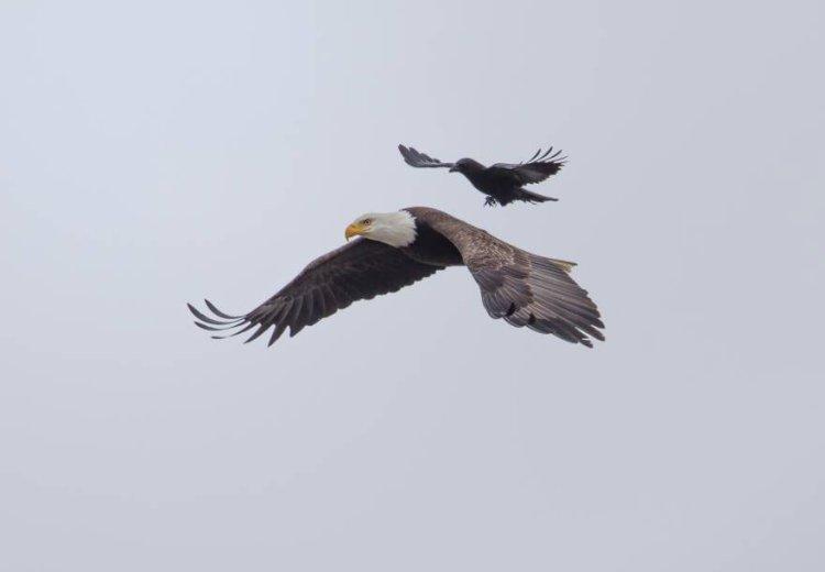 Eagle-and-Crow-2