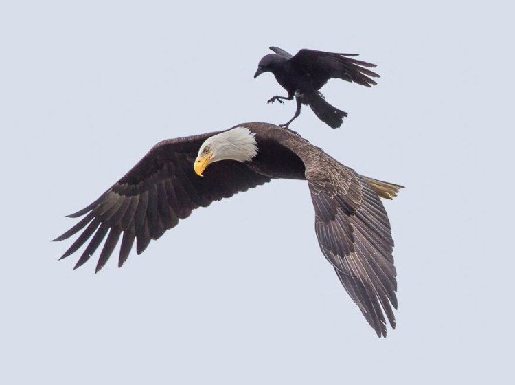 Eagle-and-Crow-3