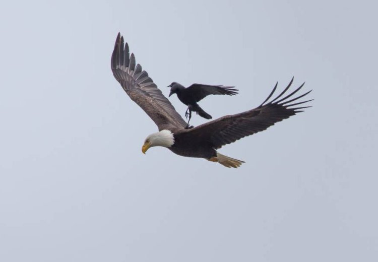 Eagle-and-Crow-4