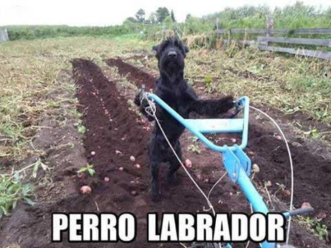 perro-labrador